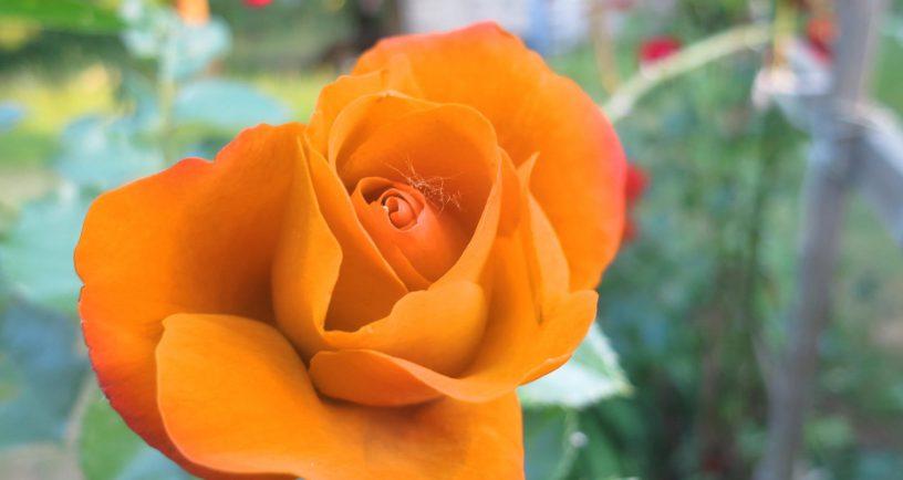 AGD-Rose © Christhard Landgraf